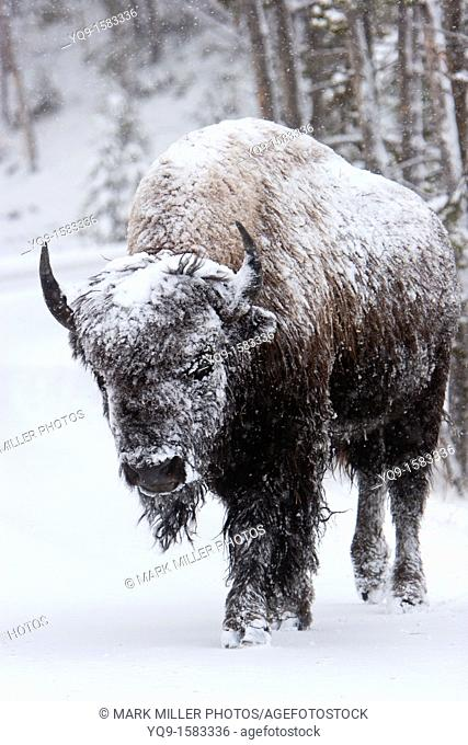 Bison or Buffalo in Yellowstone National Park Winter snow