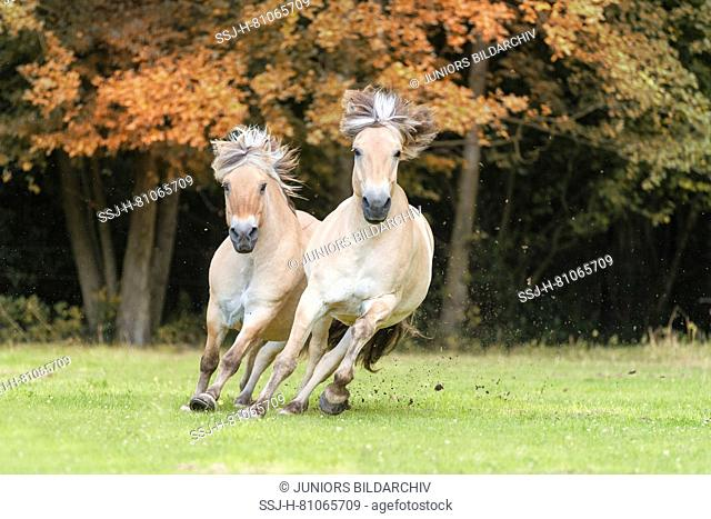 Norwegian Fjord Horse. Two adults galloping on a pasture. Germany