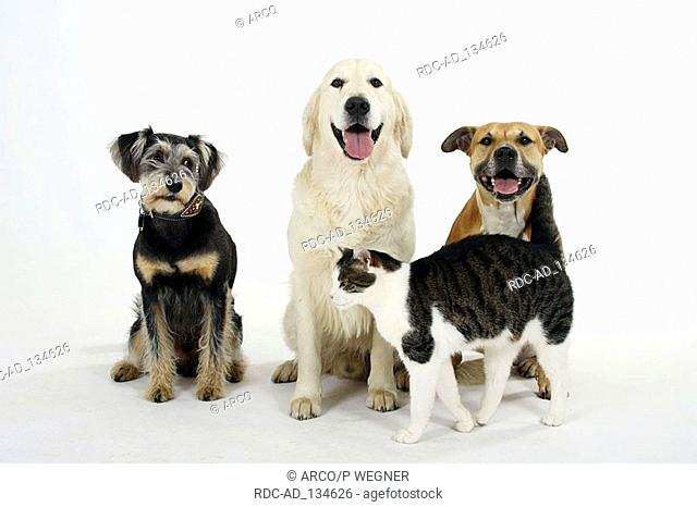 American Staffordshire Terrier Mixed Breed Dog Golden Retriever and Domestic Cat