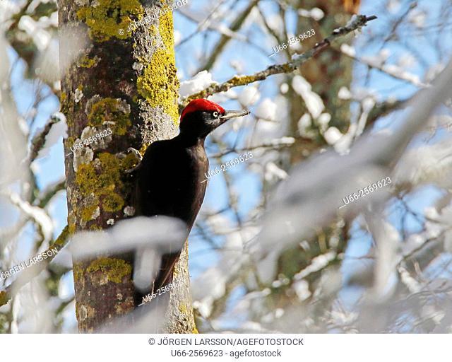 Black Woodpecker (Dryocopus martius), Stockholm, Sweden