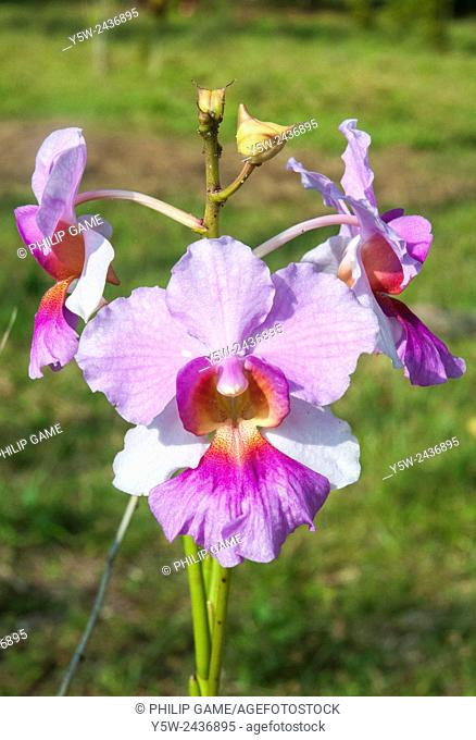 Tropical orchid growing wild, Rennell Island, Solomon Islands