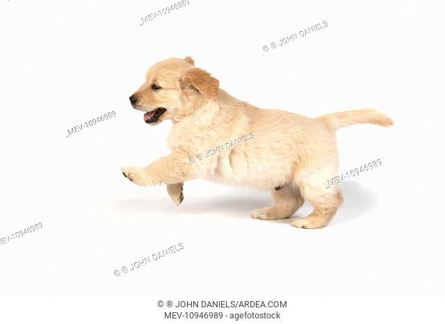 DOG - Golden Retriever puppy 7 weeks old - standing on back legs - front paws off ground