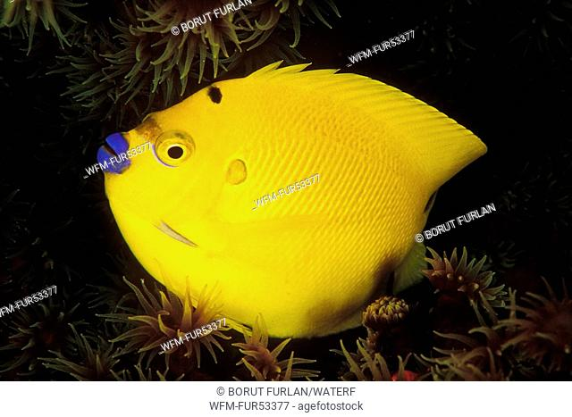 Yellow Threespot Angelfish, Apolemichthys trimaculatus, Ellaidhoo, Ari Atoll, Indian Ocean, Maldives