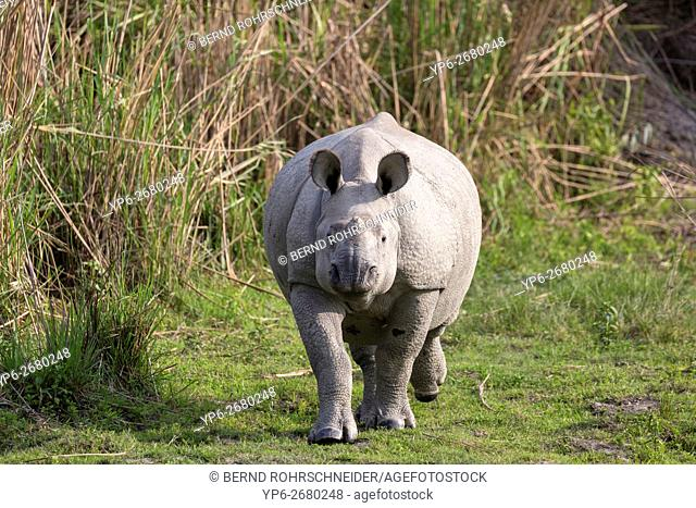 young Indian rhinoceros (Rhinoceros unicornis) in grassland, threatened species, Kaziranga National Park, Assam, India