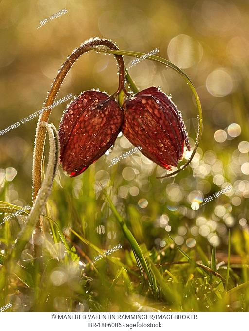 Fritillary (Fritillaria meleagris) with morning dew