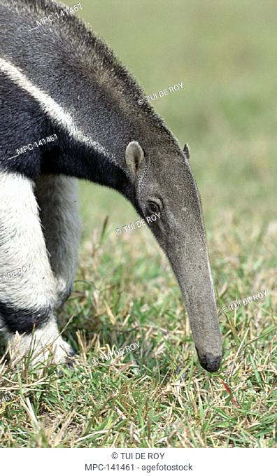 GIANT ANTEATER, (Myrmecophaga tridactyla) PANTANAL, BRAZIL