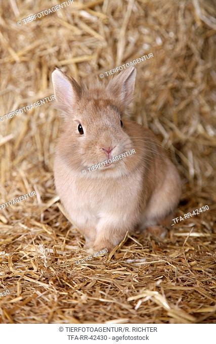 lion-headed rabbit