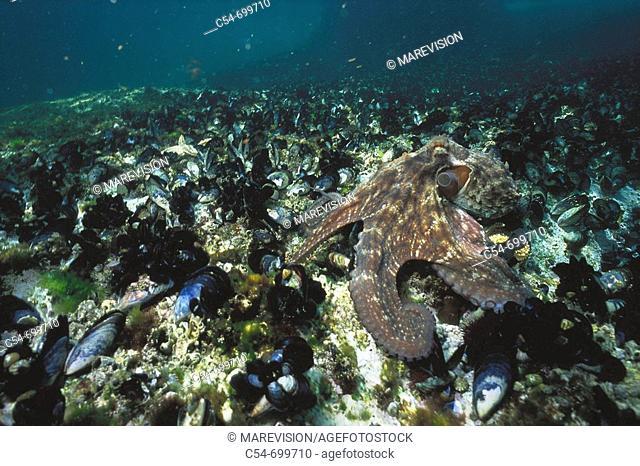 Eastern Atlantic. Galicia. Spain. Octopus devouring common mussel (Octopus vulgaris, Mytilus galloprovincialis)