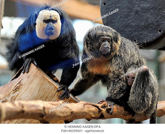 The baby white-faced saki, who was born at New Year's, sits on the back of its mother Yacuma next to father Gunther in the zoo in Cologne,Germany