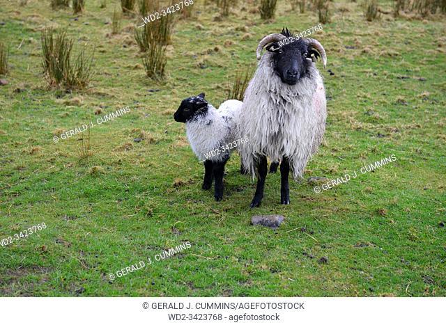 Ireland Galway 2018 Black headed sheep