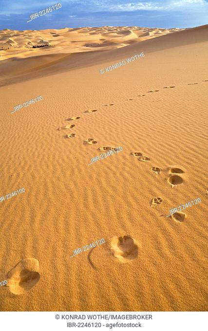 Traces of a fennec fox (Canis zerdus) on a dune in the Libyan Desert, Libya, Sahara, Africa