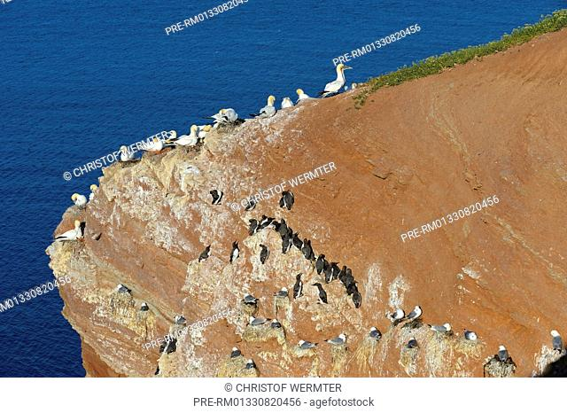 Northern Gannet Morus bassanus, Common Guillemot Uria aalge and Black-legged Kittiwake Rissa tridactyla, breeding rock, Helgoland, Schleswig-Holstein