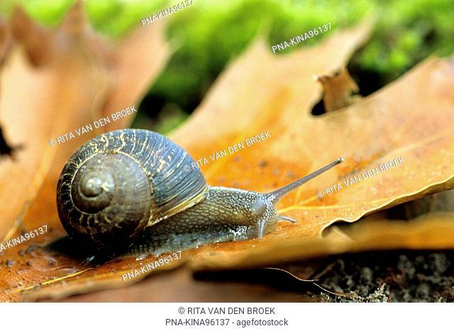 Common Garden Snail Helix aspersa aspersa