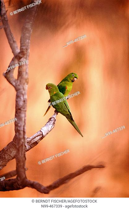 White eyed parakeet (Aratinga leucophthalmus) couple perching on a branch in front of sandstone rocks. Chapada dos Guimarães near Cuiabá. Mato Grosso