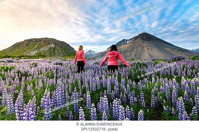 Two female tourists walk through a field of lupines towards the volcano mountains in the distance at sunset on a sunny summer evening; Iceland