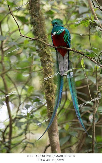 Resplendent Quetzal (Pharomacrus mocinno), Monteverde Cloud Forest Reserve, Alajuela province, Costa Rica