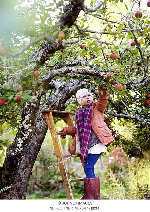 Girl on ladder picking apples, Varmdo, Uppland, Sweden