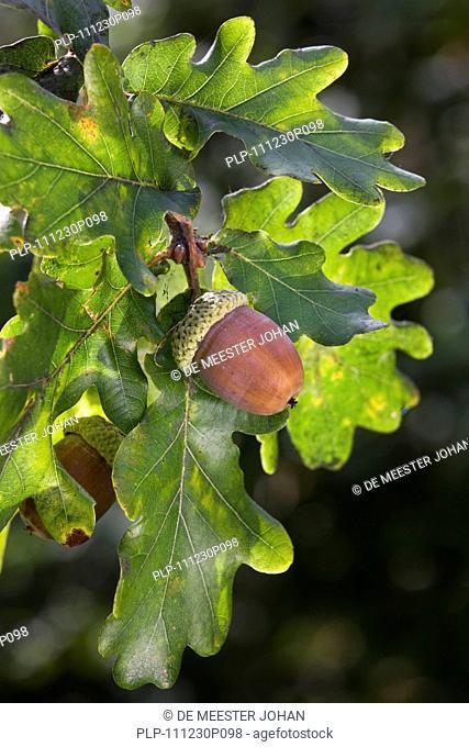Acorns and leaves of English oak / pedunculate oak Quercus robur, Belgium