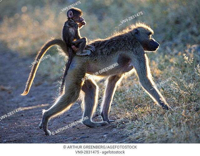 Backlit silhouettes of baboon baby riding on mother's back, Chobe National Park, Botswana