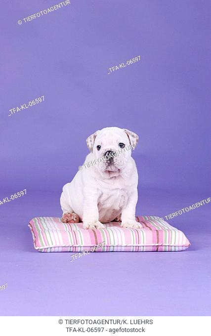 English Bulldog Puppy, Stock Photo, Picture And Rights