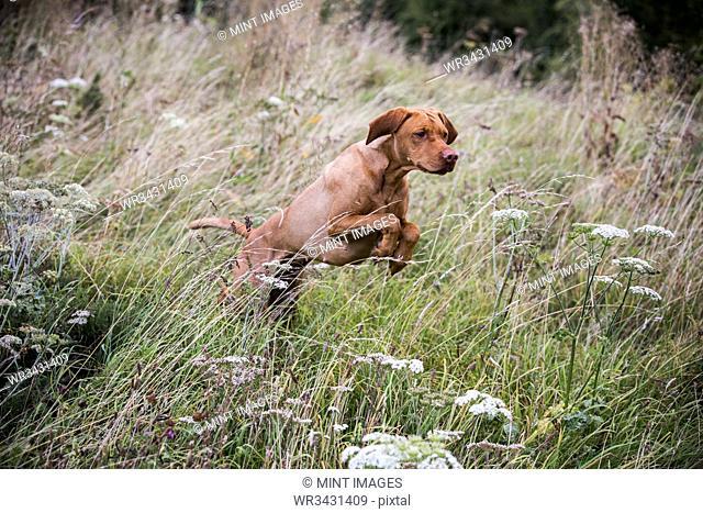 Portrait of Vizla dog running across a meadow