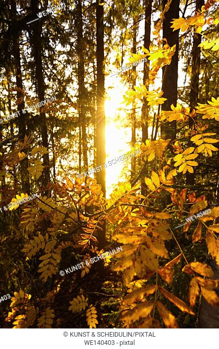 The brightly colored leaves of a mountain ash are illuminated by the light of the setting sun. Its golden shine is reflected in a forest lake in southern...