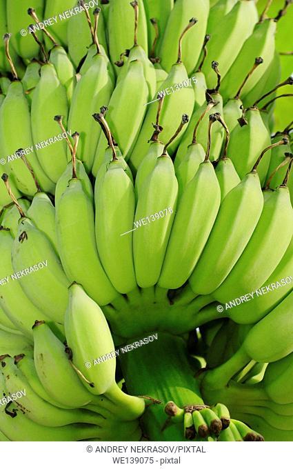 Bananas (Musa), Taman Negara National Park, Malaysia, Southeast Asia