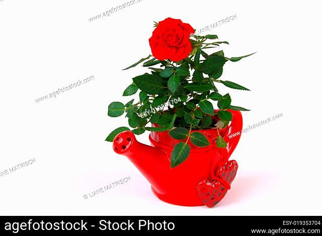 Rose 23