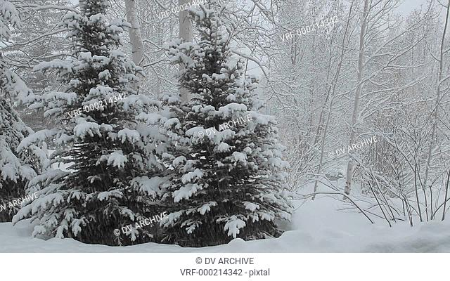 Time lapse of snow falling on a pine tree in Vail, Colorado