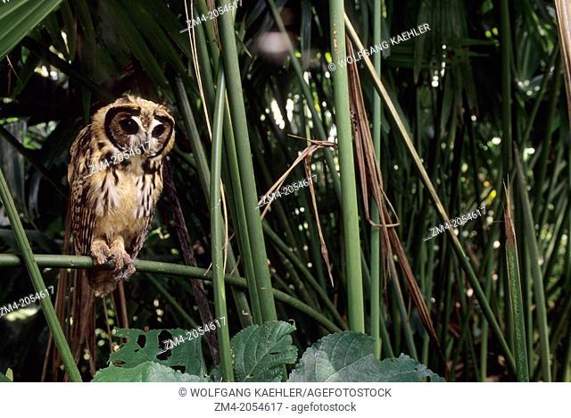 A juvenile Striped owl (Pseudoscops clamator) in theAmazon Basin of Ecuadorian rainforest along the Rio Napo, Ecuador