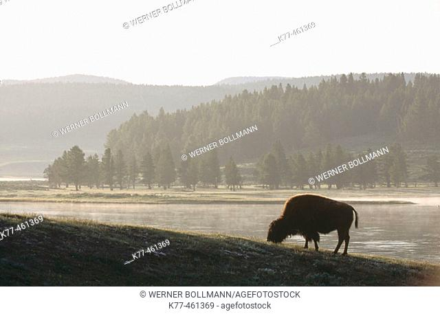 American Bison (Bison bison), female. Yellowstone River. Wyoming. USA