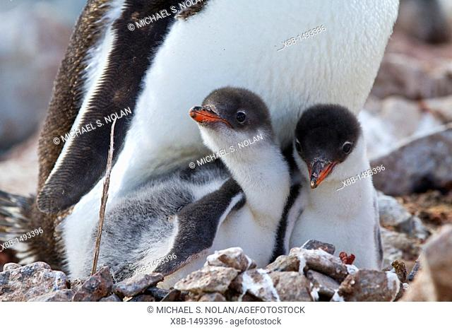 Gentoo penguin Pygoscelis papua adult with chicks at breeding colony on Booth Island, Antarctica, Southern Ocean  MORE INFO The gentoo penguin is the third...