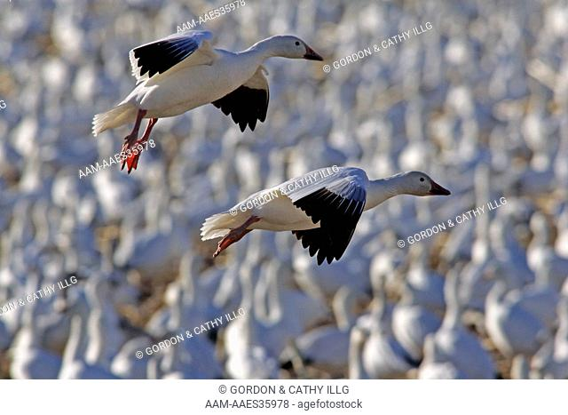 Snow Geese (Chen caerulscens) flying over flock, Bosque del Apache NWR, NM