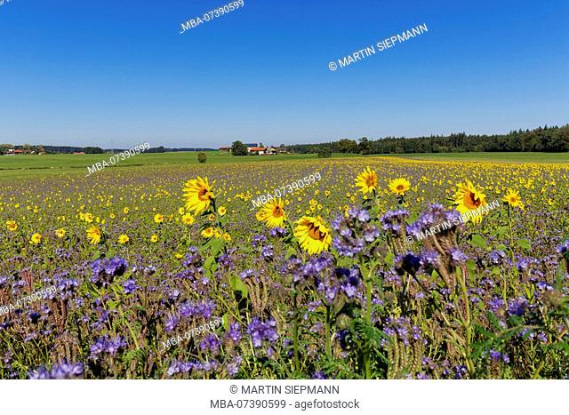 Field with sunflowers and Tansy Phazelie, behind the hamlet Stalling, municipality Palling, Rupertiwinkel, Upper Bavaria, Bavaria, Germany