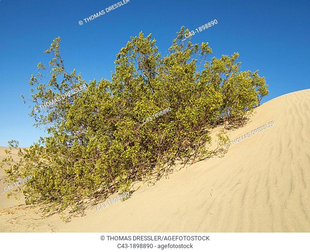 Honey Mesquite Prosopis glandulosa torreyana - Blooming in spring late March at a dune in the Mesquite Flat Sand Dunes in the Death Valley  Death Valley...