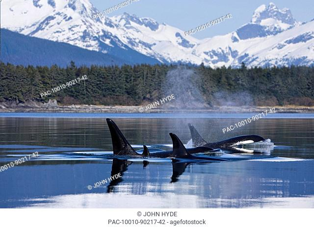 Alaska, Orca Whales Killer Whales surface in Lynn Canal, Chilkat Mountains in the distance, Inside Passage