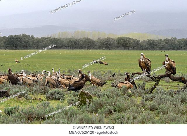 Griffon Vulture and Monk Vulture, Castilla-La Mancha, Spain