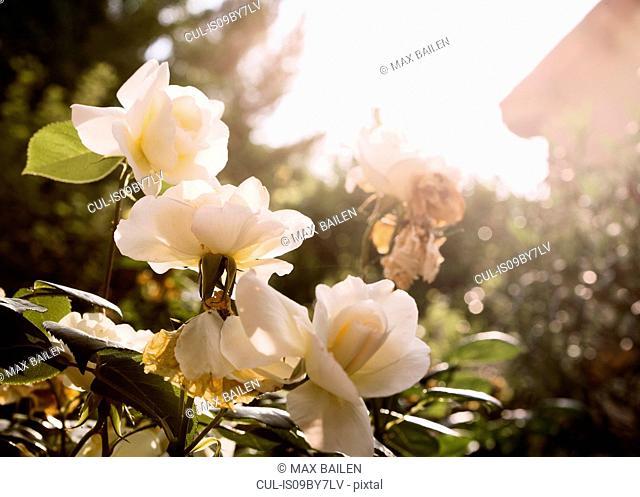Cream coloured roses