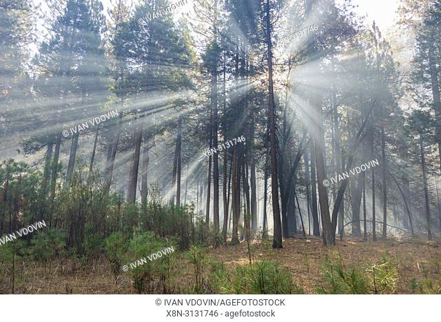 Sun beams in the forest, Yosemite National Park, California, USA