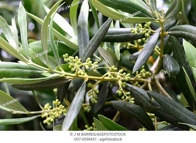 Olive tree (Olea europaea europaea). Flower buds and leaves detail