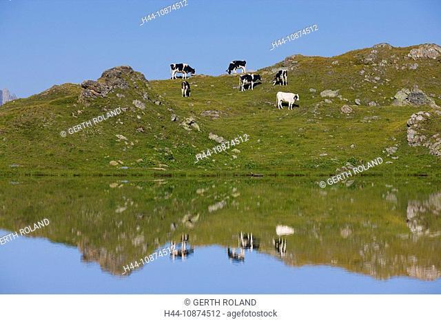 Lejin Cristal, Switzerland, canton Graubünden, Grisons, Engadin, alp, alpine, cows, lake, water, reflection