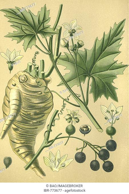 Bryony (Bryonia dioica), medicinal plant, historical chromolithograph dated to 1880