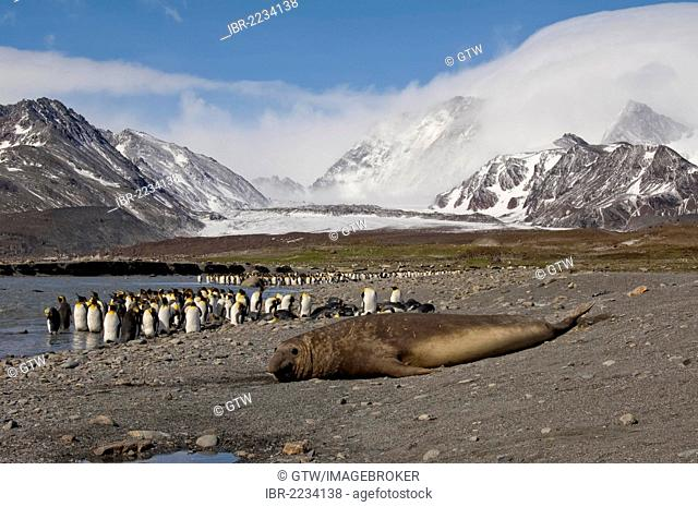Southern Elephant Seals (Mirounga leonina) in front of a King penguin (Aptenodytes patagonicus) colony, St. Andrews Bay, South Georgia Island