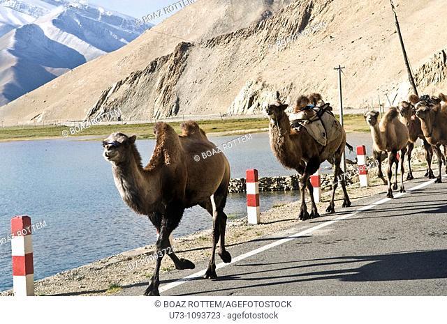 Double hump ( Bactrian ) camels walking on the karakuram highway in China