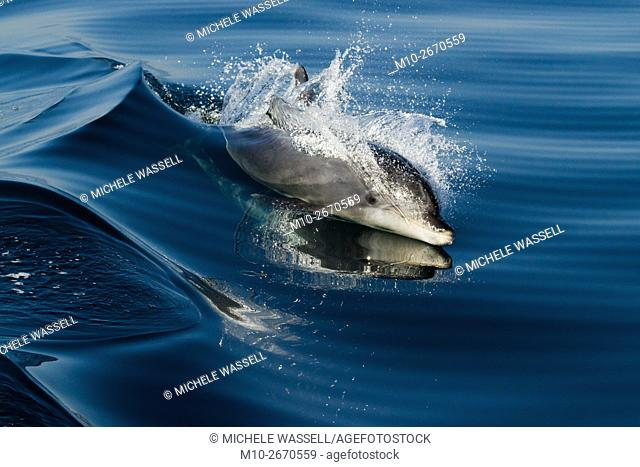 Offshore Bottlenose dolhphin at the surface alert