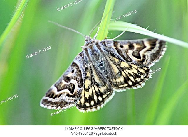 Mother Shipton, Euclidia mi  Day flying moth with brown marbled wings Named after Mother Shipton, a prophetss who predicted the death of Cardinal Wolsey