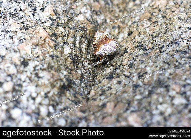 Shell with animal on granite rock - Sardinia, Italy