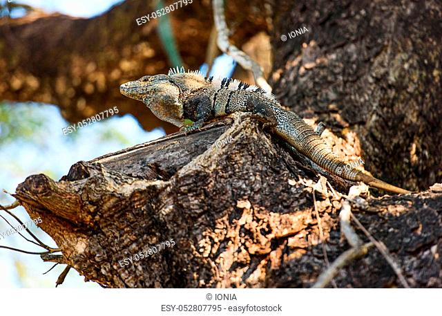 Black spiny-tailed Iguana on trees in Costa Rica
