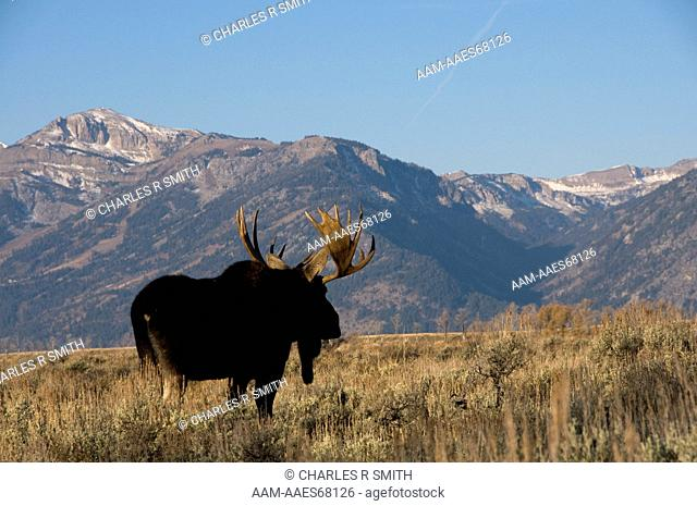 Bull moose with Grand Teton mountain in background, Grand Teton National Park, WY 10/30/08 (Alces americanus)