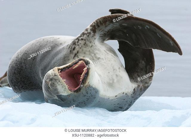 Leopard seals are top predators of the Antarctic region  Their usual diet is penguins Antarctic peninsula -Port Lockroy